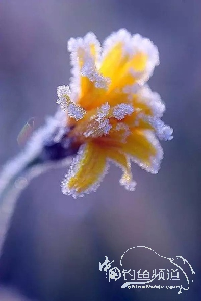 傲然雪中花,驚艷至極
